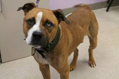 Tugaloo: Pit beauty is out of time at high-kill upstate shelter