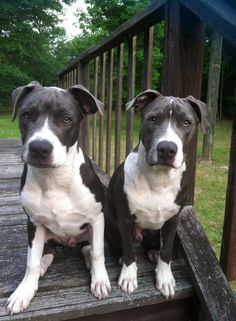 Awesome #pitbulls #Dogs <3