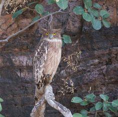 Brown fish owl (Bubo zeylonensis, Ketupa zeylonensis), at nesting place, India, Ranthambhore - Dec 5, 2015 Jacob Bahar Photography