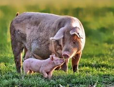 Pigs are so smart, so emotional, and mother pigs will do anything for their babies.  I love them so much!