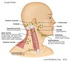 Lymph Nodes and Neck Pain - Swollen Lymph Glands Throat Anatomy, Facial Anatomy, Human Anatomy, Oral Cancer, Cancer Cells, Lymphatic System, Anatomy And Physiology, Head And Neck, Neck Pain
