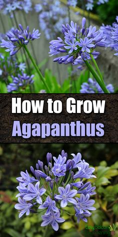How to Grow Agapanthus (Lily of the Nile) - Easy Balcony Gardening balcony garden How to Grow Agapanthus (Lily of the Nile) Gardening For Beginners, Gardening Tips, Balcony Gardening, Kitchen Gardening, Container Plants, Container Gardening, Horticulture, Garden Plants, Indoor Plants