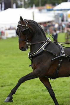 Hackney horse by Frances Taylor on Flickr.