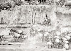 Beautiful fine art wildlife print of a Wildebeest making a wrong turn during the pandemonium of a migration River Crossing in the Masai Mara. Our selection of beautiful art papers and canvas gives you endless choices. Stretched Canvas, Framed and Mounted options arrive ready to hang. The perfect print to suit contemporary or modern decor schemes. This art print is the ideal art print for wildlife art lovers.