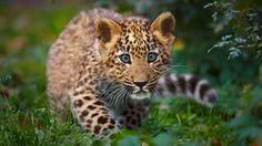 Leopard Cub (Wild For Wildlife and Nature) Amur Leopard, Leopard Cub, Leopard Animal, Nature Animals, Animals And Pets, Baby Animals, Cute Animals, Wild Animals, Animals Photos