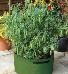 How to grow peas in containers, yum, i think it might be too late this season though. :/ but next year.