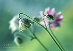 Aquilegia by Mycatherina #nature #photooftheday #amazing #picoftheday