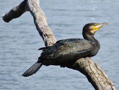 Great Cormorant - Yerrabi Pond, ACT