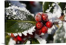 Holly (Ilex) Berries and Foliage Covered in Winter Hoar Frost Big Canvas Art, Canvas Art Prints, Framed Wall Art, Framed Prints, Winter Scenes, Home Art, Watercolor Art, Art Pieces, Berries