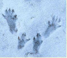 Les empreintes de l'écureuil sont très allongées. Les pattes arrières sont plus grandes que les pattes avant. La forme de la voie (disposition des 4 pattes) est tout à fait particulière.