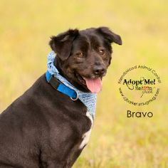 05/19/14 Bravo #12726 Golden Retriever & Norwegian Buhund Mix • Adult • Male • Large City of Friendswood Animal Control Friendswood, TX