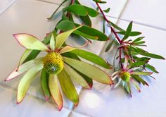 Late to the Garden Party: My favorite plant of the week: Leucadendron salignum 'Chief'
