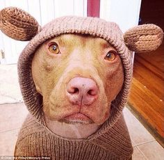 So sweet: The dog looks adorable in this bear costume