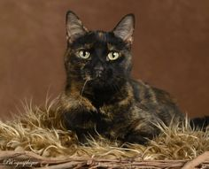 Bailey is an elegant girl with wonderful grace and a serene spirit.  She is about 4 years of age, with gorgeous tortoiseshell coloring, spayed, and ready for adoption at Nevada SPCA (www.nevadaspca.org).  Bailey is great with other cats.  She enjoys sneaking items from bags and drawers so she can hide them around the house and play with them at her leisure, so keep your keys zipped up safe!  Special thanks to Pet'ographique (www.petographique.com) for this stunning portrait.