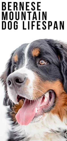 Bernese Mountain Dog life span