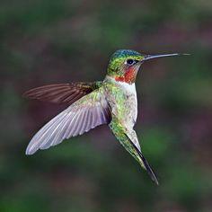 ~~On the Rebound ~ Ruby-throated Hummingbird by arisesndrejoice~~