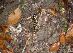 La salamandra - le salamandre