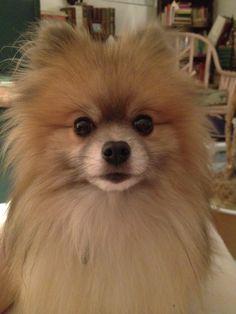 """Indigo the Pomeranian, """"Who me?"""""""