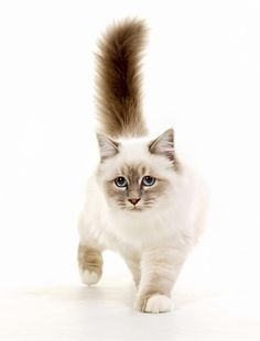 7 Silky Facts About Birman Cats | Mental Floss