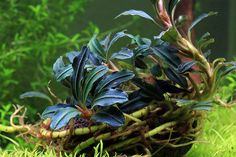 Common Name: Bucephalandra Kedagang Round Family Name: Araceae Endemic To: Borneo Leaves: 1-2 cm pH: 6-8 Care: Easy Light: Low to Medium Co2: Not necessary but recommended Propagation: Cut by rhizome