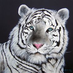 Tigre Branco <3  - www.savetigersnow.org  - tigertime.info - www.savewildtigers.org - www.panthera.org/node/1399
