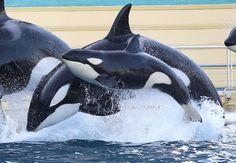 FEVRIER : la fameuse orque - Love les animaux !