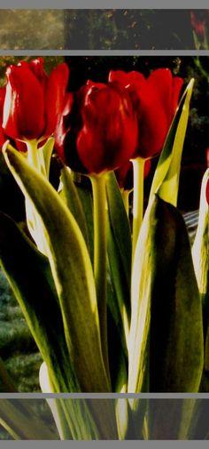 Tulips~gorgeous!