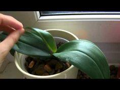 "▶ ""Orchideen richtig umtopfen + schneiden"" ~BONUS-Video~ - YouTube"