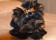 Allie is growing up! Adorable Yorkie, stunning colors.