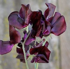 Lathyrus oderata 'Almost Black' - sweat pea - marsala Beautiful Flowers Pictures, Flower Pictures, Shade Garden, Garden Plants, Karen Smith, Gothic Garden, Plant Fungus, Midnight Garden, Black Garden