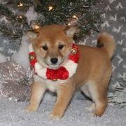 Tinsel Shiba Inu Puppy 576280 Puppyspot Shiba Inu Puppies For Sale Puppies
