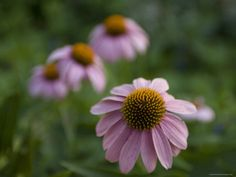 Purple Cone Flowers on the University of Nebraska Campus  by Joel Sartore