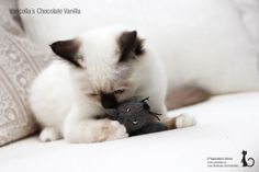 S*Varicella's Chocolate Vanilla, Birman Female Kitten, Chocolatepoint, 4,5 months, playing with the IKEA mouse