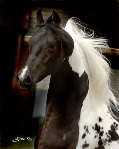 Legacy's Picasso, a homozygous pinto and homozygous black National Show Horse stallion by © Don Stine Communications & Photography via dreamhorseforyou.com