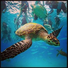 Scuba diving with the sea turtles in Barbados is on my to do list!
