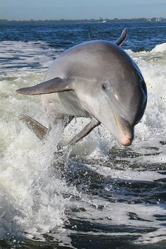 Atlantic Bottlenosed Dolphin (Tusiops truncatus) by Tory Kallman