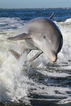 Atlantic Bottlenosed Dolphin (Tusiops truncatus) by Tory Kallman