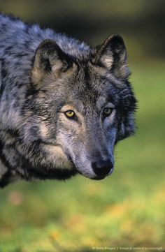 Gray Wolf,Timber Wolf Autumn. Canada. Canis lupus.