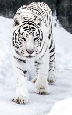 Rare Snow Tiger