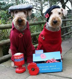 Airedale Terrier's all dressed up