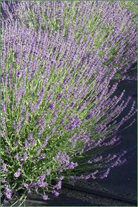 Photo=Buena Vista lavender- great article explaining many different types of lavender.