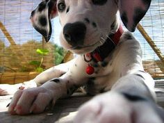 I MUST MUST MUST own a Dalmation one day! I've loved them since I was 2!