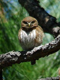 Mountain Pygmy Owl (Glaucidium gnoma)