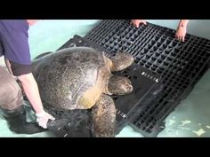 June Video of a live green sea turtle that washed up on an Oregon beach last week. It's currently receiving treatment at the Newport Oregon Aquarium. Seaside Oregon, Newport Oregon, Oregon Beaches, Newport Beach, Live Cams, Underwater Photos, Sea Birds, Whales, Mammals