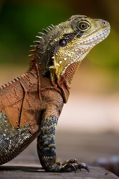 Eastern Water Dragon by Karen Plimmer on Reptil Les Reptiles, Reptiles And Amphibians, Mammals, Beautiful Creatures, Animals Beautiful, Cute Animals, Types Of Chameleons, Salamander, Photo Animaliere