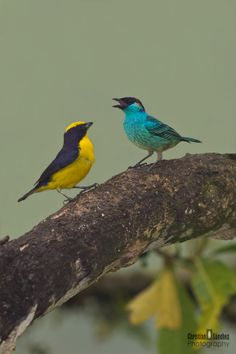 Golden Naped Tanager And Orange Bellied Euphonia by Christian Sanchez on 500px