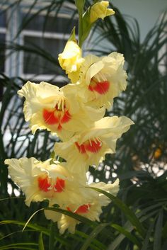 Yellow And Orange Gladiolus. Native American Dancer at a Pow Wow. Royalty free stock photos. All pictures are free for commercial and personal use. http://www.publicdomainpictures.net