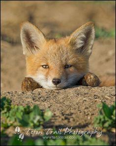 Red Fox Cub by John Blumenkamp