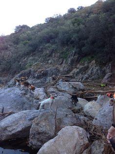 川も渡るよ。猟師のピエールは14匹犬を連れて追い込み、周りにいる仲間が待ち構えて撃つという方法