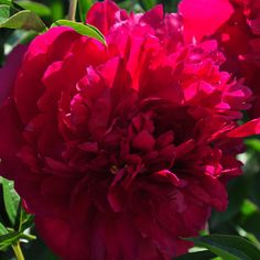 Peony 'Longfellow'. Non-fading crimson red with golden stamens. Slightly fragrant. Blooms mid-season.